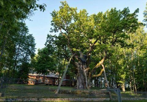 Стемлужский дуб – самый старый представитель вида дубовых